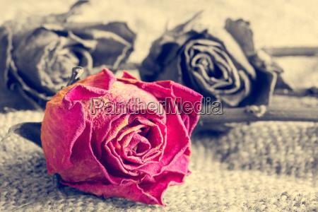 trockene rose auf monochromem hintergrund