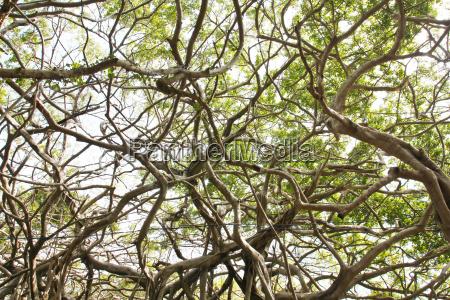 arbor von alten banyan baum