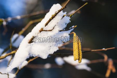 haselnussbluete mit schnee