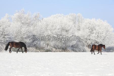 winter horse horses stallion farm holsteins