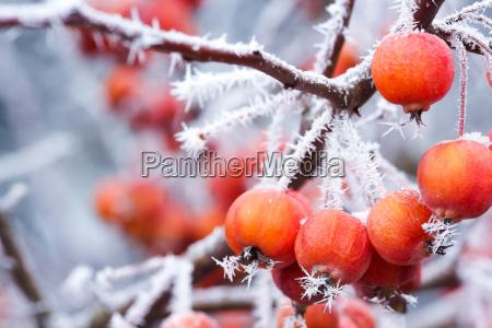 zieraepfel bei frost