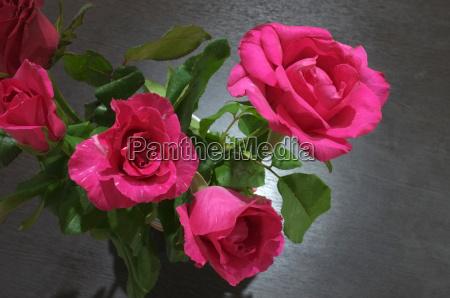 blume pflanze gewaechs rose liebhaben liebe