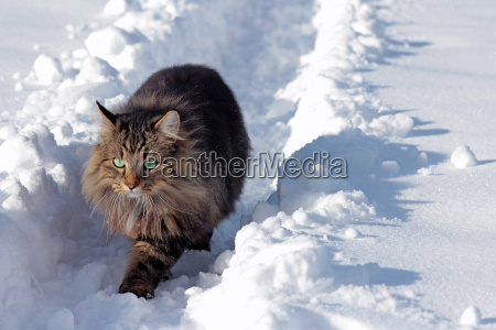 a pretty young norwegian forest cat