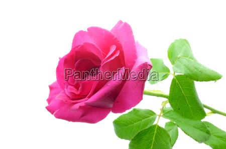 natuerliche rosa rose