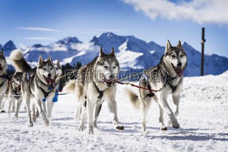schlittenhunde in hochgeschwindigkeitsrennen