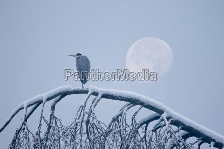gray heron sits on snowy tree