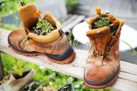 zwei alte stiefel mit orangenblueten gepflanzt