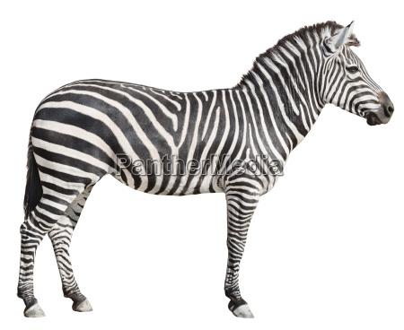 plain burchells zebra weiblich stehende seitenansicht