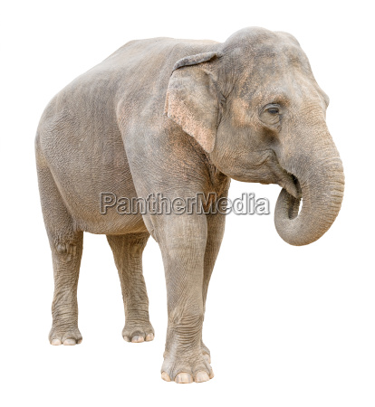 asian elephant female telling secret cutout