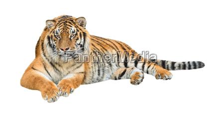 siberian tiger panthera tigris altaica cutout