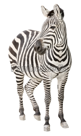 schwangere vorderansicht des zebras die ausschnitt