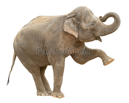 asiatischer elefant weibliche grussausschnitt