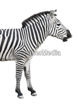 zebra talks isolated over white background