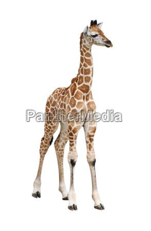 giraffe kalb ausschnitt