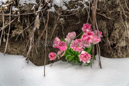 blume blumen pflanze tulpe tags tagsueber
