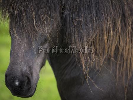 pferd ross tier saeugetier europa horizontal