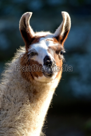 lama in the wild