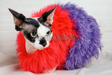 sphynx katze mit rotem und lila