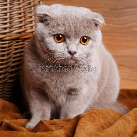 graue katze mit gelben augen scottish