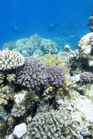 bunte korallenriff mit tauchern im tropischen
