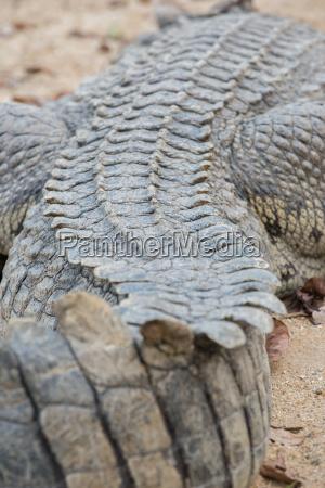 tier reptil krokodil wildlife alligator gefaehrlich