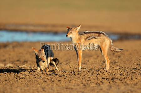 black backed jackal interaction