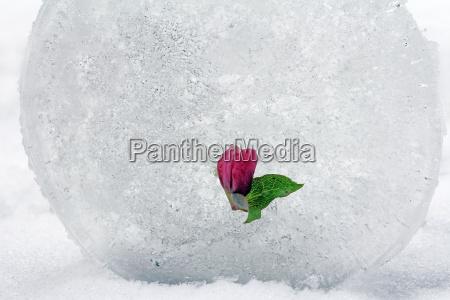 eine schneerose im eis die eingefrorene