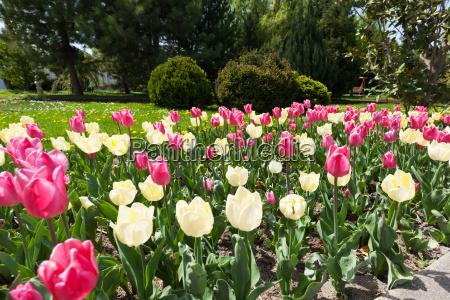 tulpenbluete im fruehling