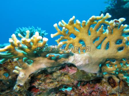 korallenriff mit gelben feuerkorallen im tropischen