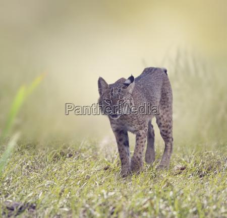 wild bobcat walking
