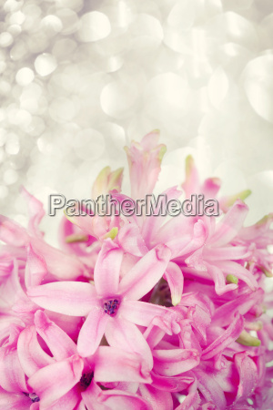 rosa hyazinthe auf abstrakten hintergrund