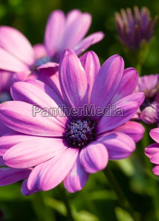 the kapkoerbchen osteospermum also african daisies
