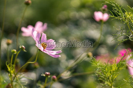 pink cosmos blooming