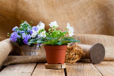 saintpaulia flowers in paper packaging on