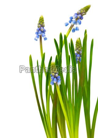 glockenblume traubenhyazinthe muscari armeniacum