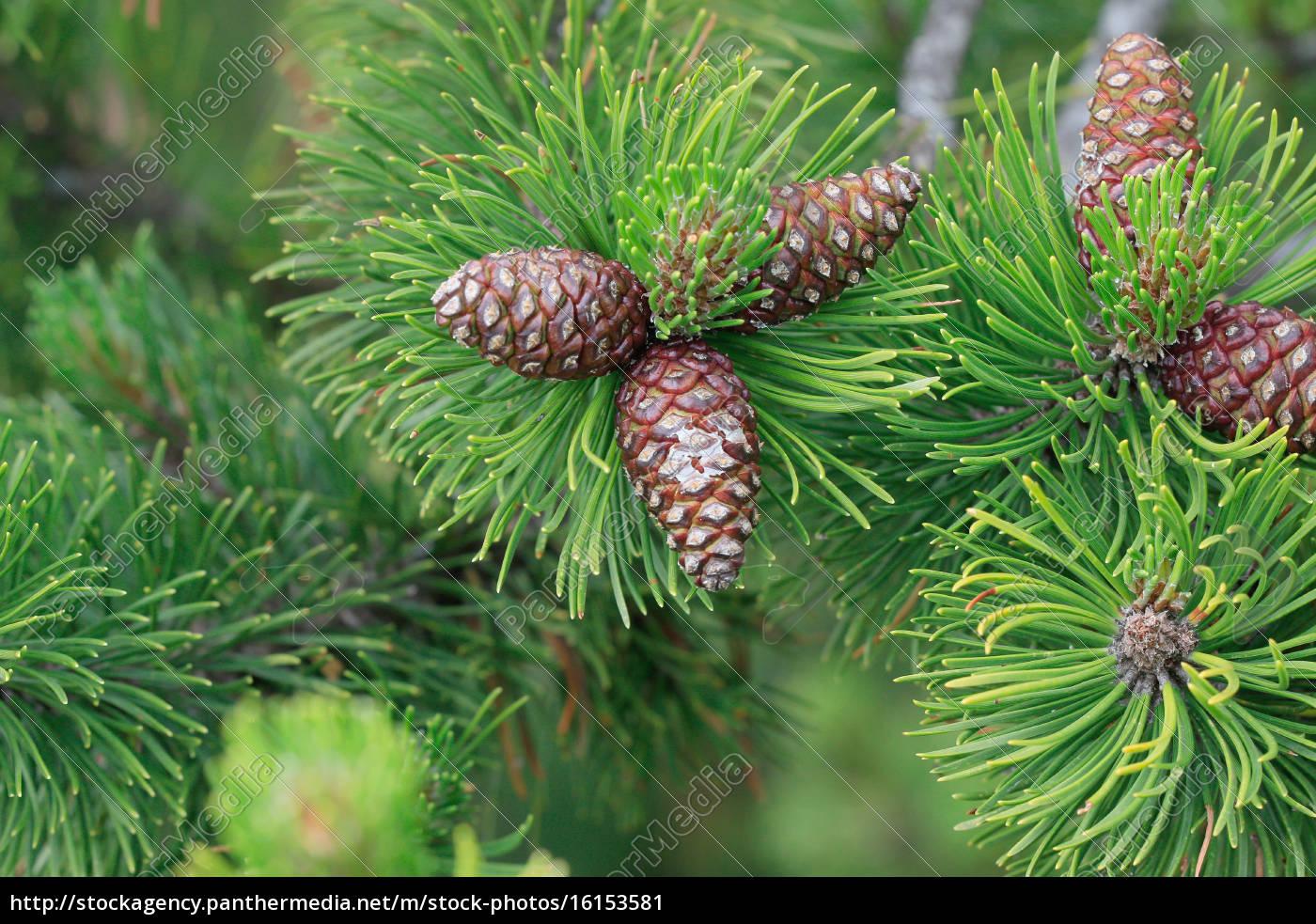 Kiefer zweig mit zapfen pinaceae stockfoto 16153581 - Kiefer baum kaufen ...