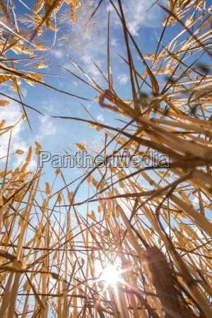 wheat field against lovely summer blue