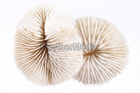 muscheln von fungia auf weissem hintergrund