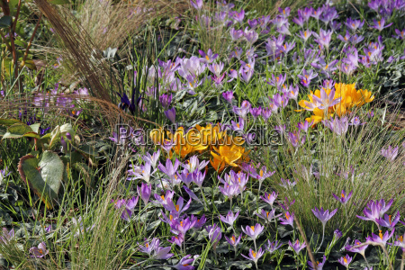 yellow and violet crocuses in the