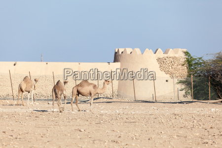 camel farm in qatar