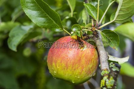 apfel baum frucht reif reife biss