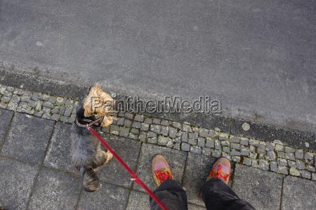 hund yorkshireterrier strasse fussweg leine halsband