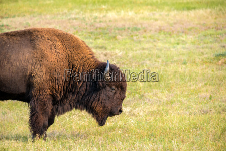 one bison