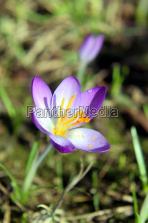 crocus flower lila violet