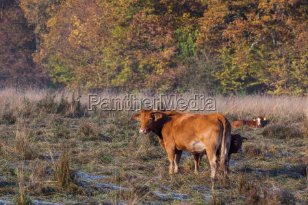 agriculture animal husbandry outdoor herd of