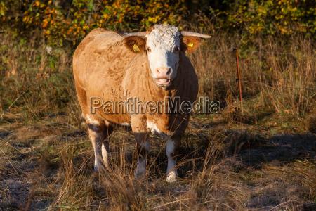 agriculture animal husbandry free range cow