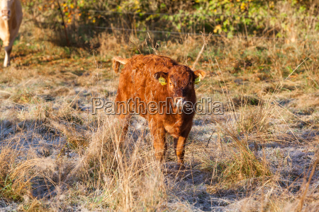 agriculture animal welfare free country cow