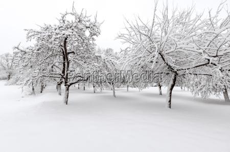 apfelbaeume nach dem winter schneesturm