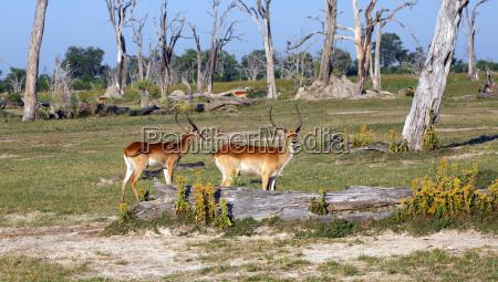 rote litschi antilope