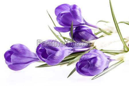 einige fruehlingsblumen von violetten krokus auf